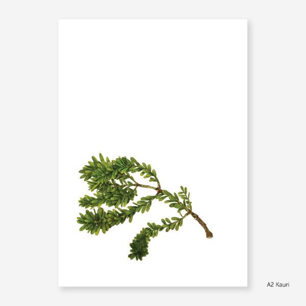 Botanic Study Prints, A2 Kauri
