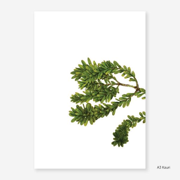 Botanic Study Prints, A3 Kauri