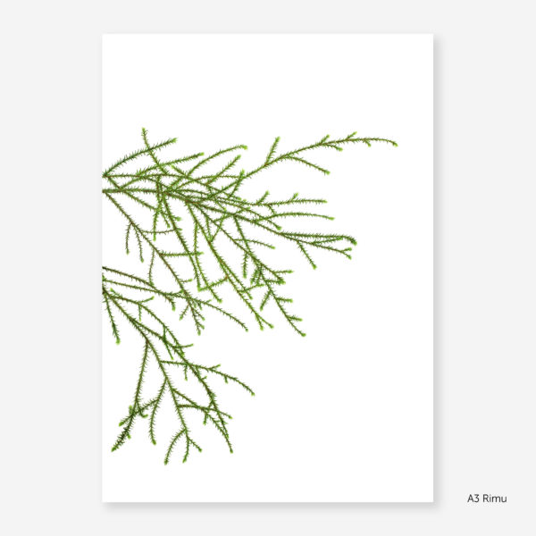 Botanic Study Prints, A3 Rimu